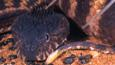 The head of a Pilbara death adder