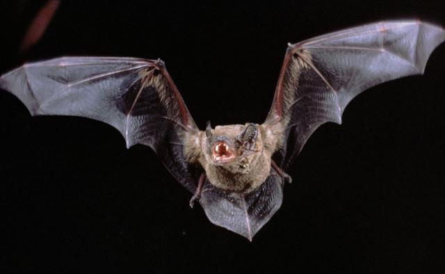 https://i1.wp.com/ichef.bbci.co.uk/naturelibrary/images/ic/credit/640x395/c/co/common_noctule/common_noctule_1.jpg