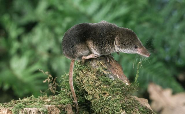 A common shrew sits on a moss covered log