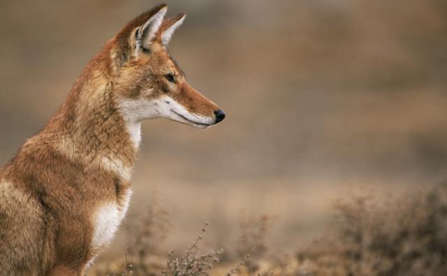 alt= top 10 endangered african animals