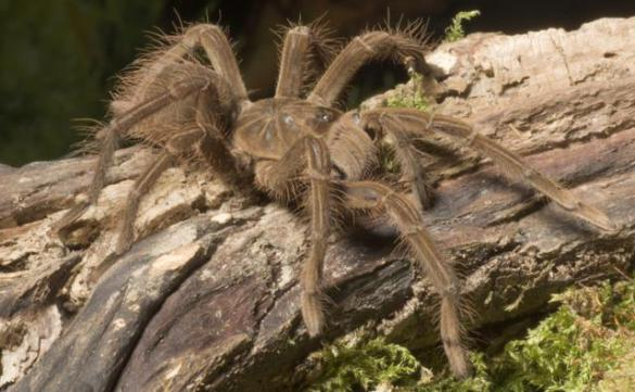 BBC Nature   Goliath bird eating spider videos  news and facts Goliath bird eating spider
