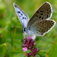 A tale of Thyme, ant and the sheep = The Large Blue Butterfly!
