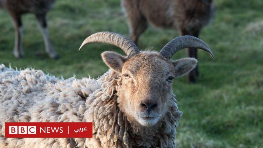 الخراف ليست غبية كما يعتقد البعض Bbc News Arabic