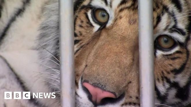Houston tiger: Animal missing for a week located #world #BBC_News