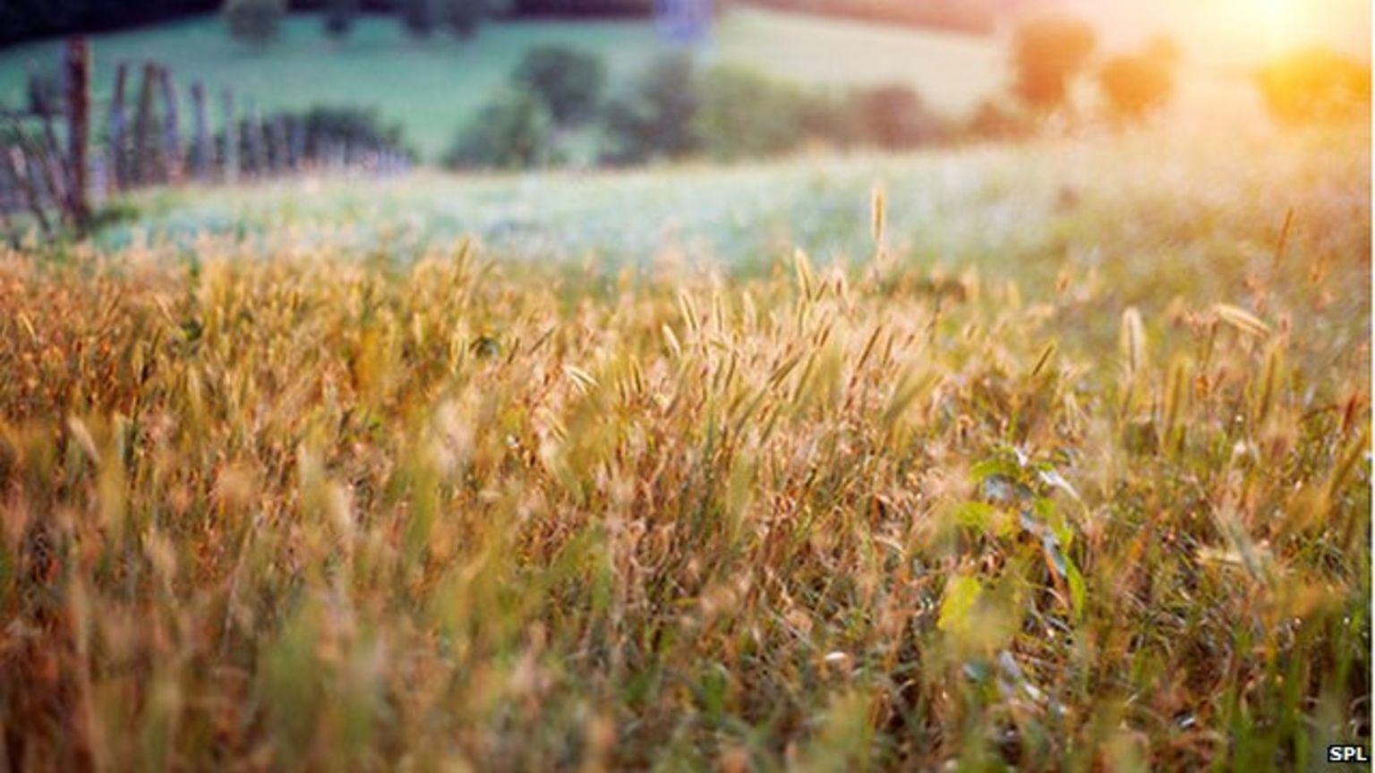 Wheat field, France
