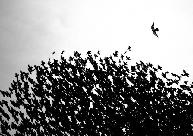 Peregrine Falcon and starlings