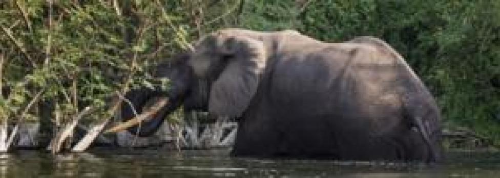 A bull elephant bathes and drinks water on the Northern shores of Lake Edward inside Virunga National Park