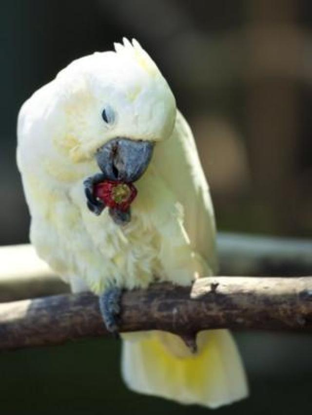 Pássaro comendo pimenta