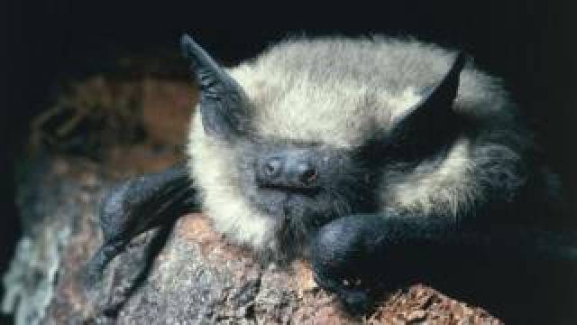 Common pipistrelle bat (Getty Images)