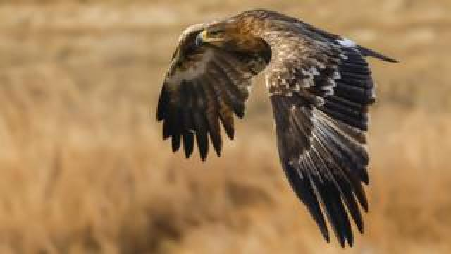 Steppe eagle, file pic