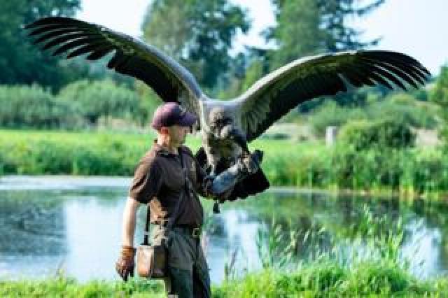 A man holds a young condor bird