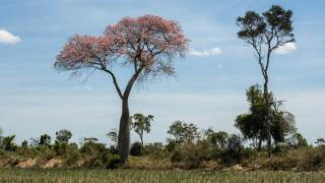 Trees in Manitoba colony