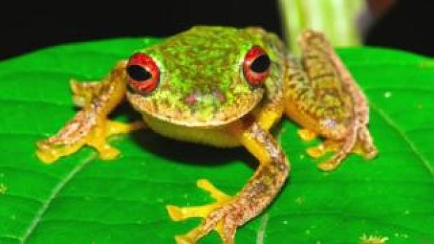 Mossy red-eyed frog (Duellmanohyla soralia)