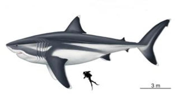 image of diver next to megalodon