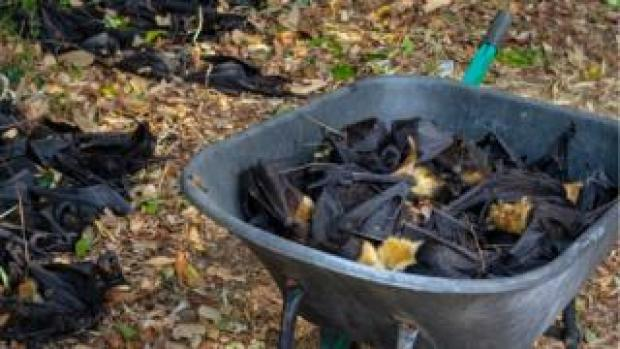 A wheelbarrow of dead bats seen next to more dead bats on the ground