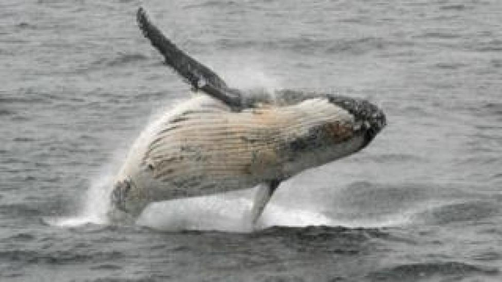NEWS Humpback whale jumping out of the water in the western Antarctic peninsula, file photo 5 March 2016
