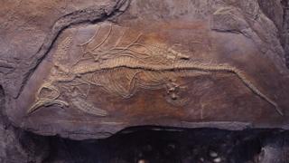 Ichthyosaur fossil.