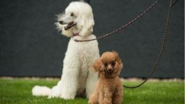 A standard poodle and a toy poodle arrive to attend the first day of the Crufts dog show