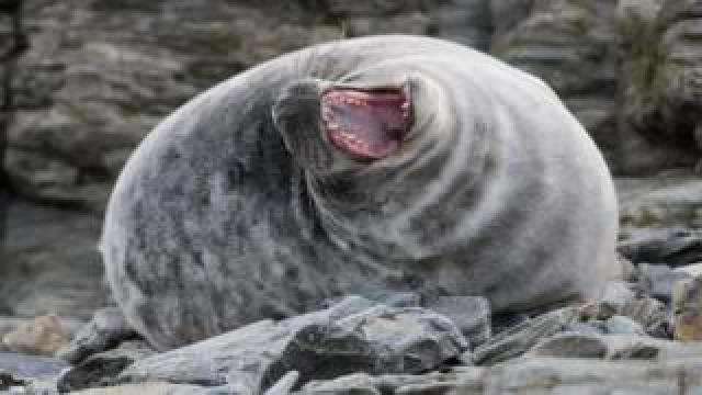 Seal - Calf of Man observatory