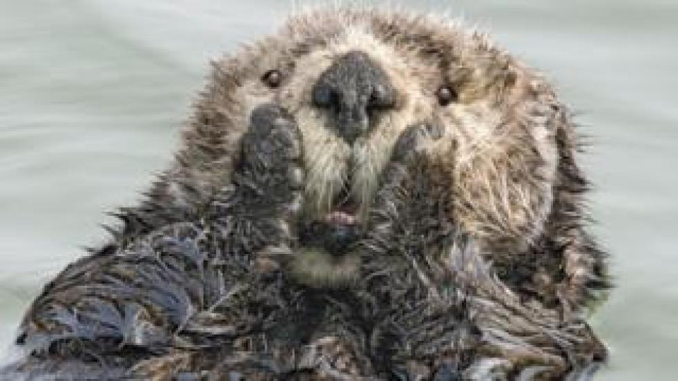 An otter holds its cheeks