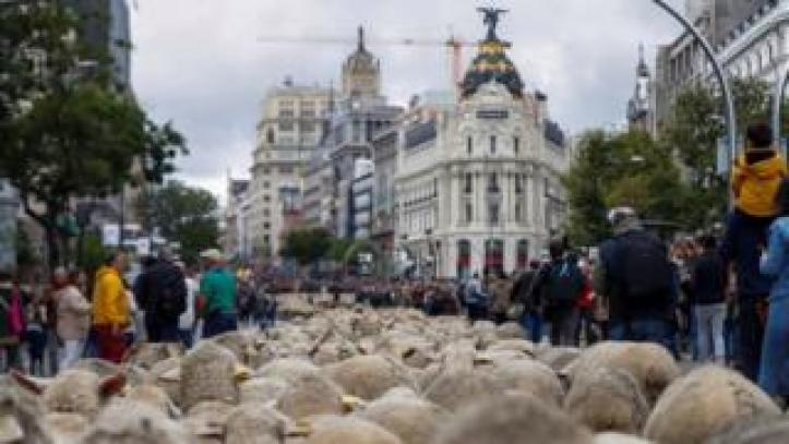 Hundreds of sheep are led through a street in downtown Madrid