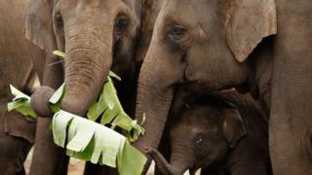 Elephants eating leaves at Taronga Zoo
