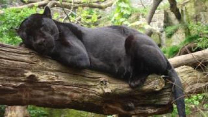 jaguar sleeping on branch