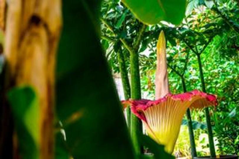 A Titan Arum flower