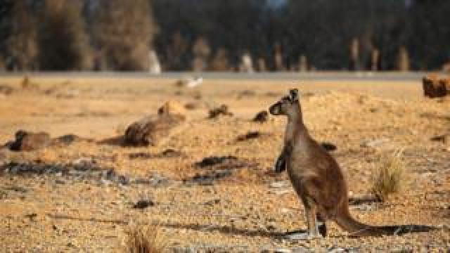 A kangaroo on the edge of a bushfire-damaged national park on the island