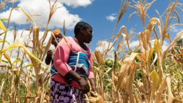 A woman carries a child on her back through a dry maize field