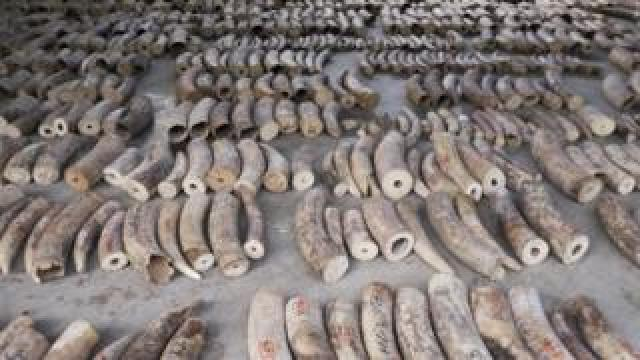 Seized ivory seen at a holding area in Singapore