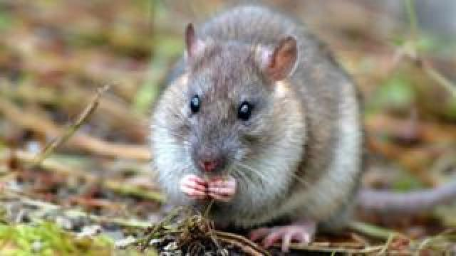Brown rat - an invasive predator that eats seabird eggs and chicks