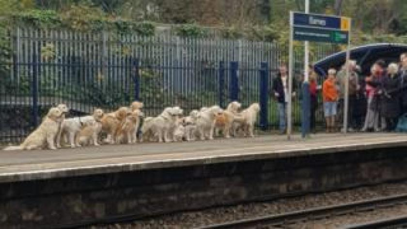 Bunch of golden retriever dogs at Barnes station