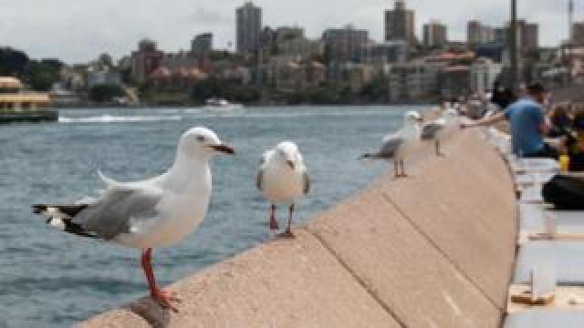 Seagulls outside Sydney Opera House
