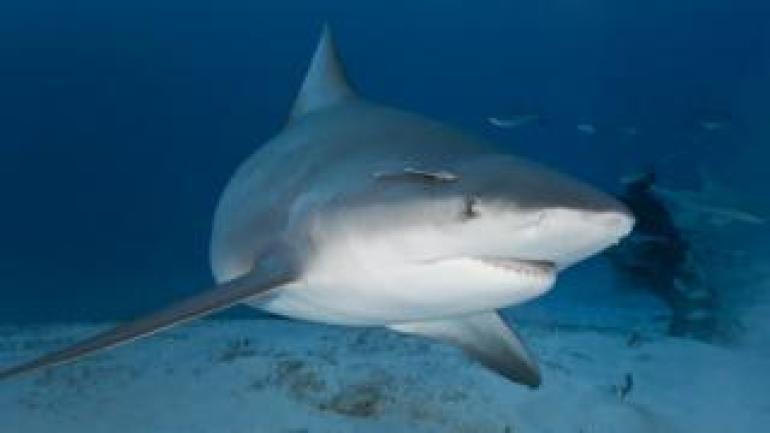 File photo of a bull shark