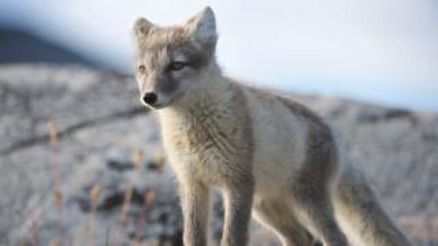 Young Arctic fox