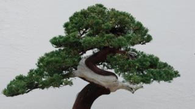 A Bonsai in Washington.