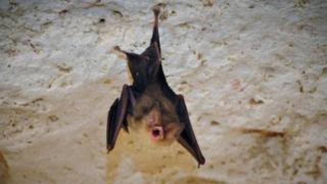 The Cuban greater funnel-eared bat (Natalus primus)