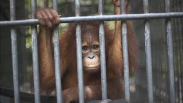Orang utan at rehabilitation centre in Sumatra