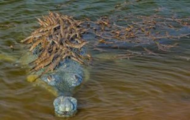 Dhritiman Mukherjee image of a gharial croc