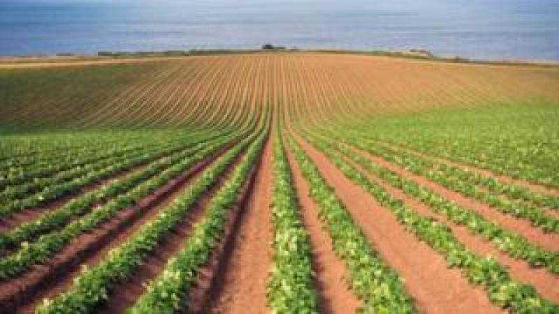 Field of potatoes in East Lothian
