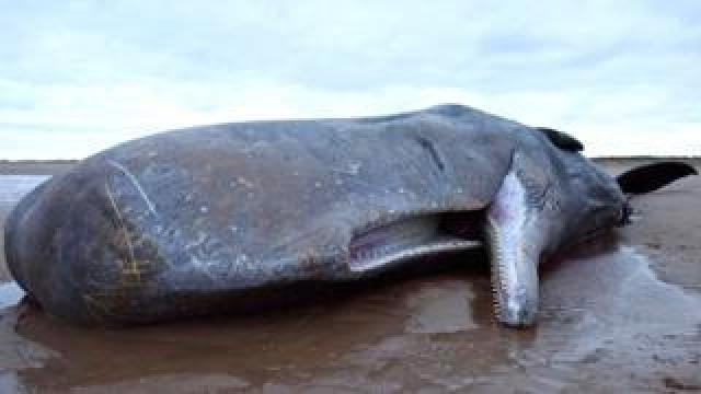 A sperm whale lies dead after becoming stranded on a beach between Old Hunstanton and Holme