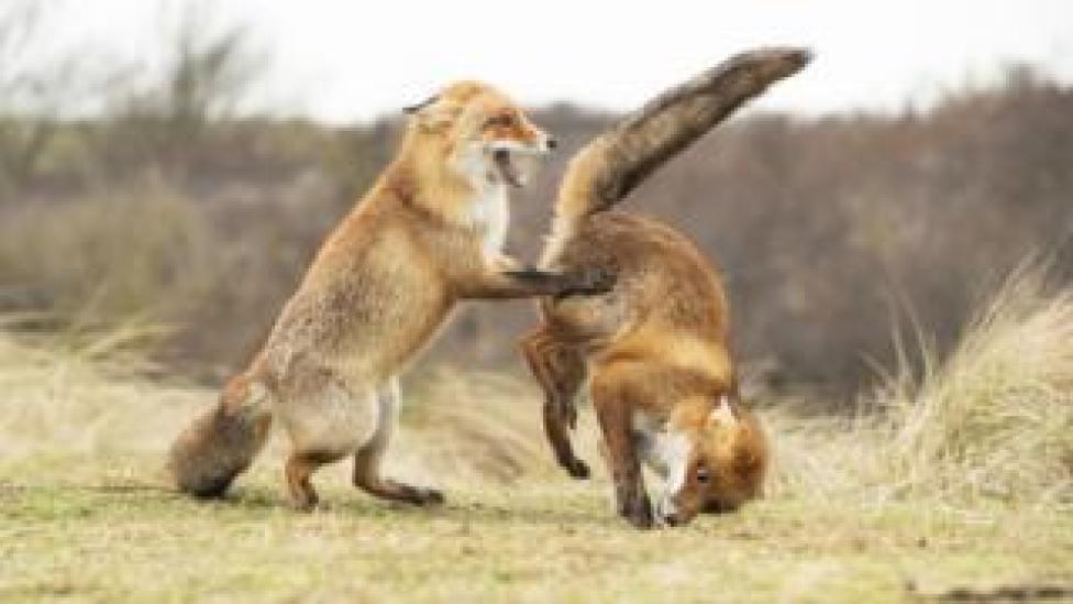 Two fox cubs dancing
