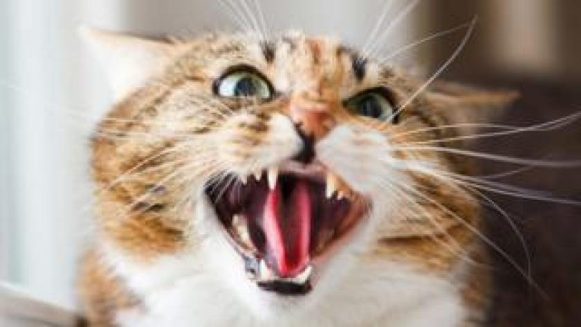 An angry cat (stock photo)
