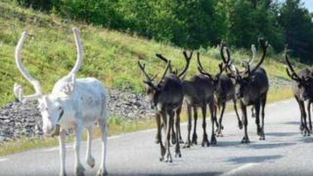 White reindeer in Sweden