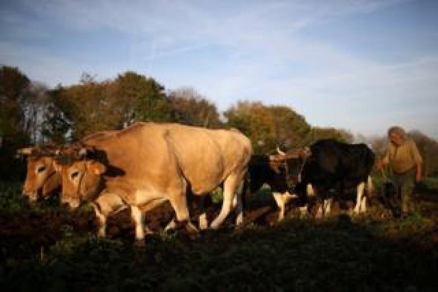 Jean-Bernard using several oxen to plough a field