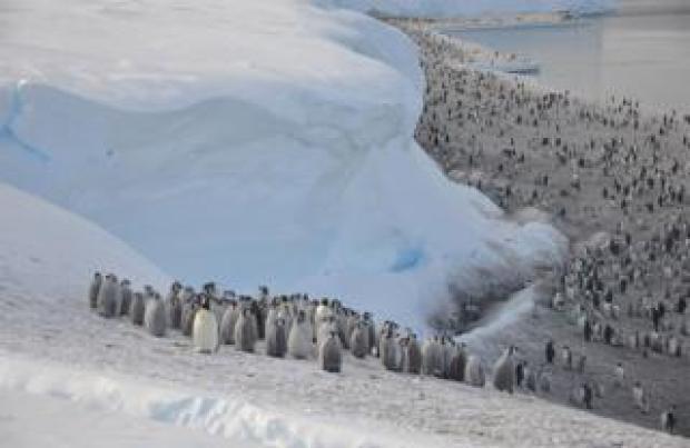 Halley emperor penguins