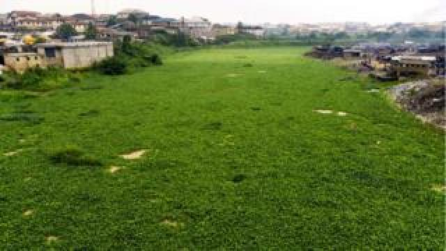 river covered in water hyacinth as far as the eye can see