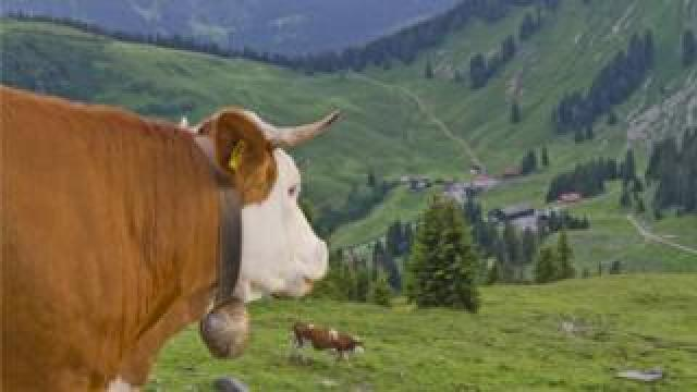 A cow looks down a hill in Germany, with its cowbell clearly on display