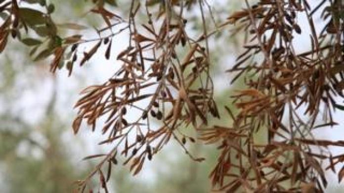 Infected olive tree (Image courtesy of EPPO/D. Boscia, Istituto di Virologia Vegetale del CNR, Bari/F. Nigro, Università degli Studi di Bari/A. Guario, Plant Protection Service, Regione Puglia)